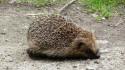 Hedgehog, Wanstead Park