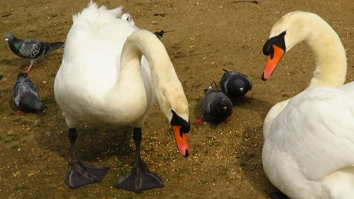 The 'widowed' swan with his new mate, pictured 21 March
