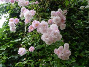 Musk Roses 2