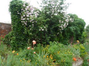 musk roses1