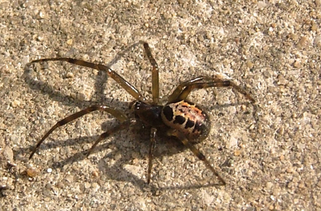 False widow spider. public domain: Brenda Avery