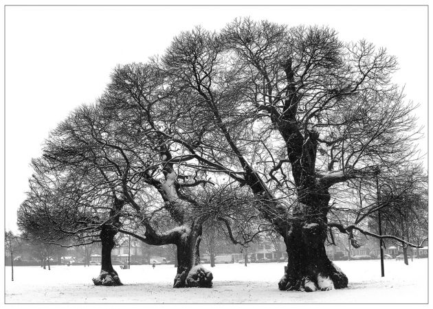 75newchestnuttrees