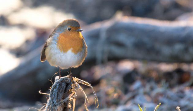 January Robin