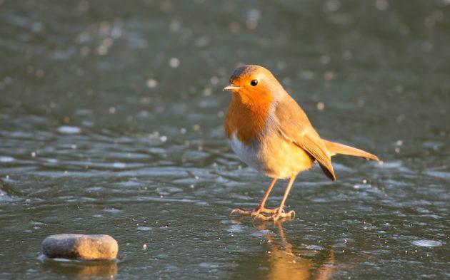 Rock n Robin